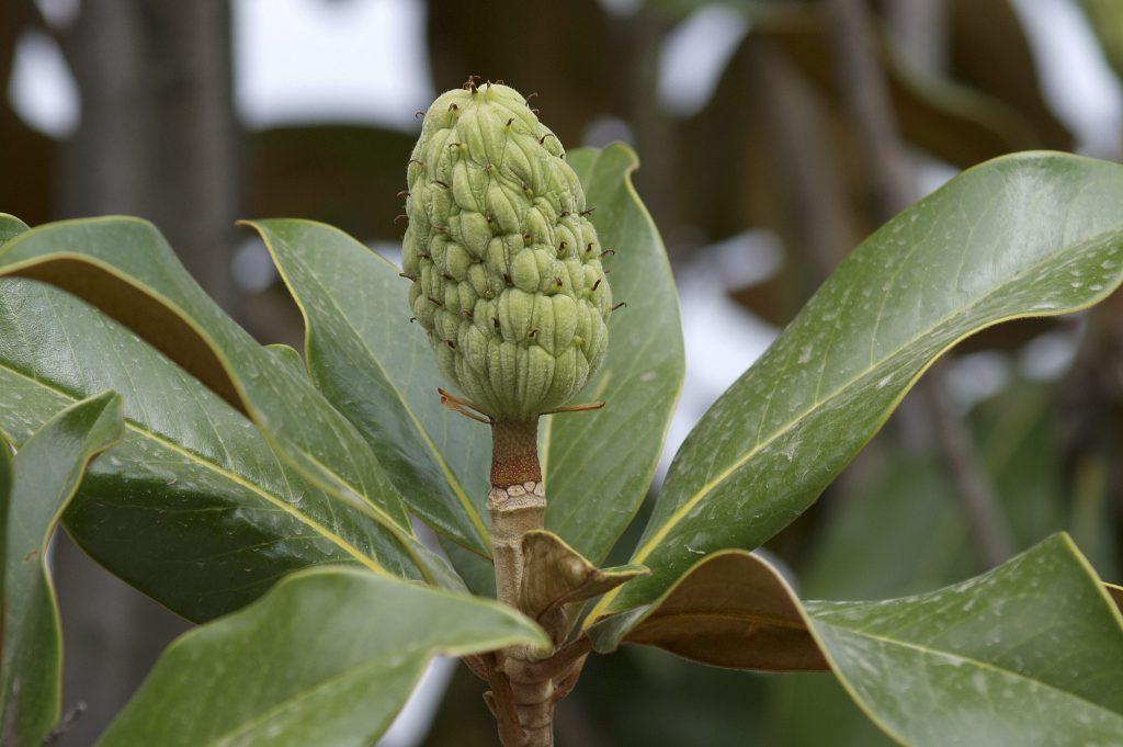 Magnolia-grandiflora-fruto