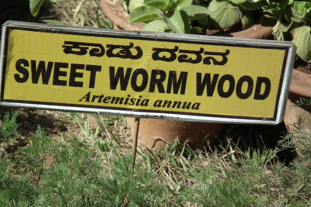 Sweet_worm_wood_(Artemisia_annua)_from_lalbagh_2279